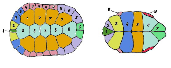 уход такими как определить возраст черепахи по панцырю особенно заметно