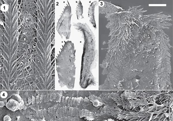 Некоторые типы фрагментов, найденных в Маунт-Кап: 1 — фильтрующие пластинки с перообразными щетинками, 2 — максиллы с чередованием зубчиков разной длины (a, b, c), жевательные поверхности мандибул (d, e). 3 — оторочка жевательной поверхности мандибулы из длинных ветвящихся щетинок; длина масштабной линейки 50 мкм. 4 — увеличенное изображение жевательной поверхности: длинные щетинки постепенно укорачиваются, превращаются в чешуйки, наложенные друг на друга подобно черепице, затем и они сходят на нет. Изображение из обсуждаемой статьи в Nature