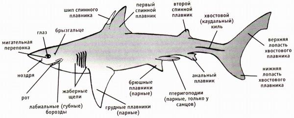 Внутреннее строение акулы представляет собой типичный для любой рыбы набор органов.  Однако, у неё отсутствует...