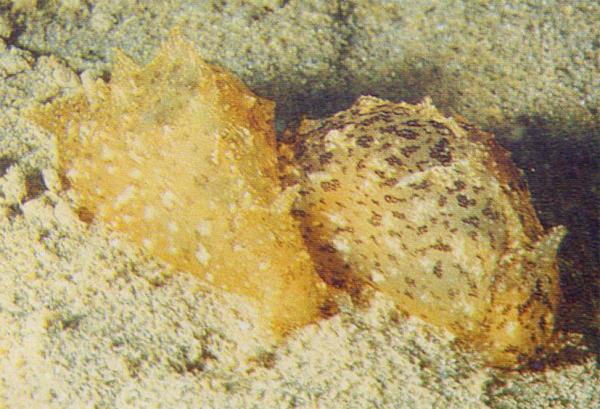 Морские зайцы. Моллюски Брюхоногие (Gastropoda). Другие.