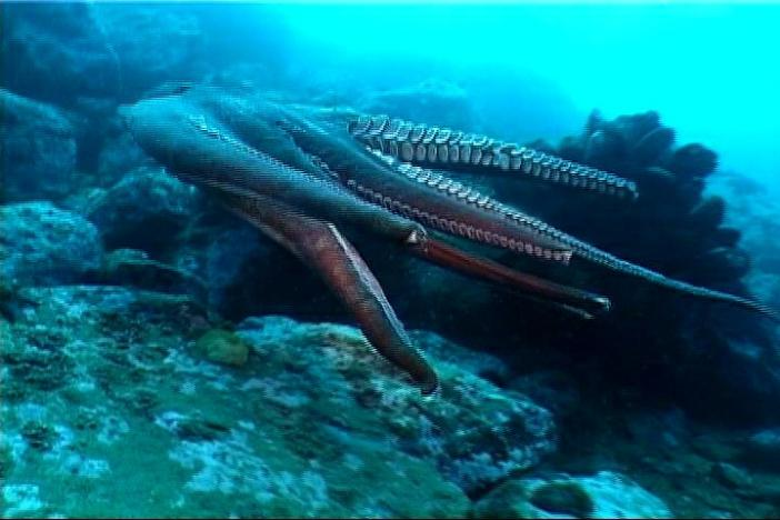 black desert гигантский осьминог где ловить